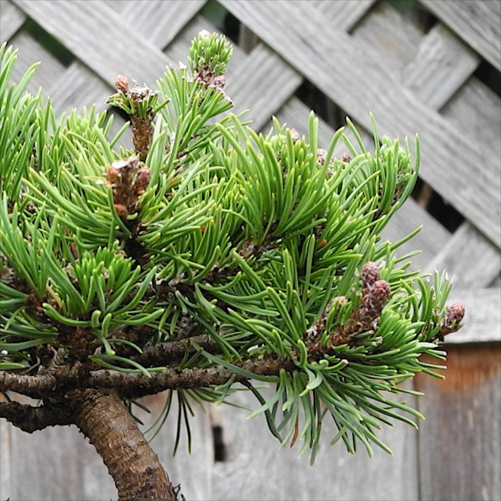 Valley Cushion Dwarf Mugo Pine   The Miniature Garden Society